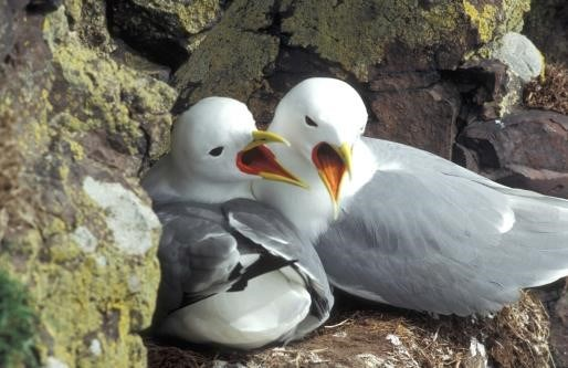 Black-legged kittiwake (photo from Matt Parsons)
